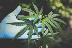 A Basic Guide to Cannabis, It's History, & Science Acupuncture CEU Course
